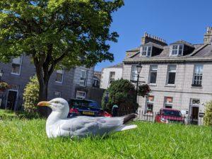 seagull lying down